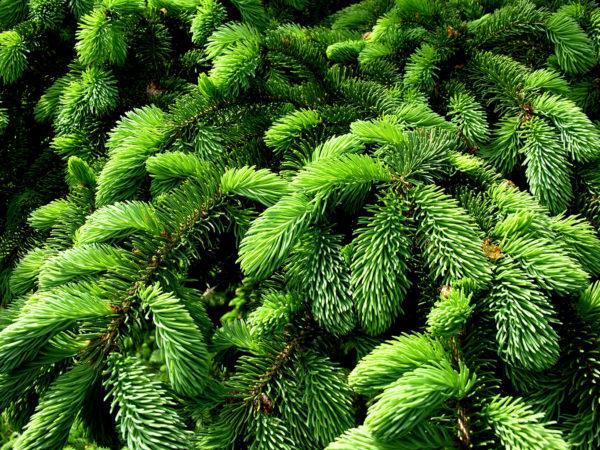 jehličí, strom, jehličnan, zeleň, zelený